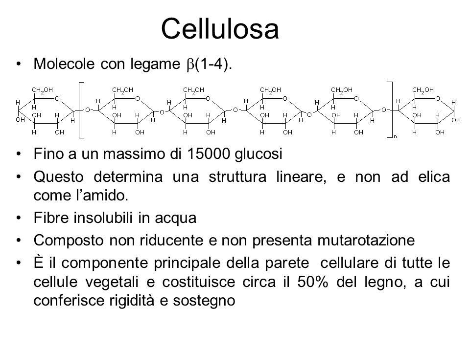 Assume una conformazione estesa di microfibrille che si associano con legami idrogeno