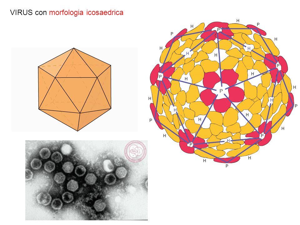 Meccanismo di infezione dei virus eucariotici