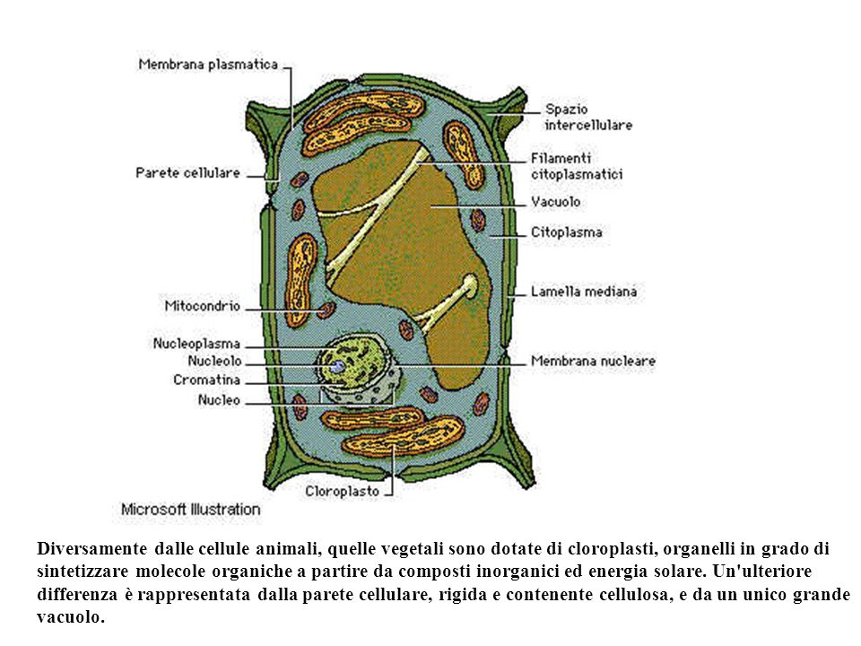 Diversamente dalle cellule animali, quelle vegetali sono dotate di cloroplasti, organelli in grado di sintetizzare molecole organiche a partire da com