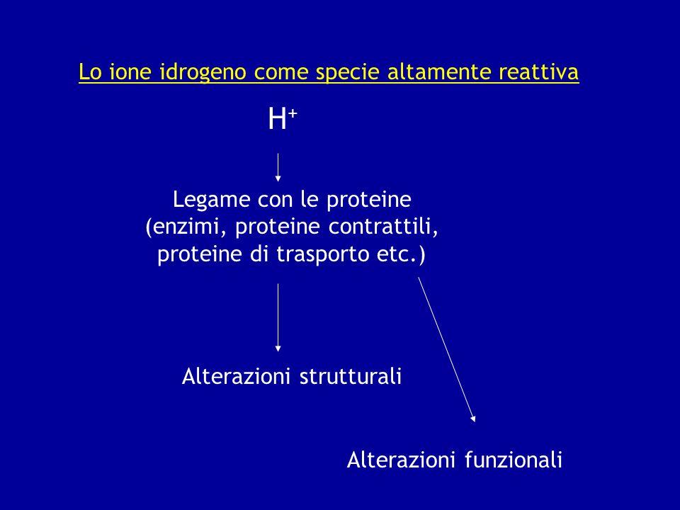 Lo ione idrogeno come specie altamente reattiva H+H+ Legame con le proteine (enzimi, proteine contrattili, proteine di trasporto etc.) Alterazioni str