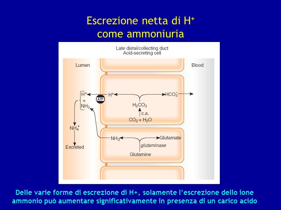 Escrezione netta di H + come ammoniuria Delle varie forme di escrezione di H+, solamente lescrezione dello ione ammonio può aumentare significativamen