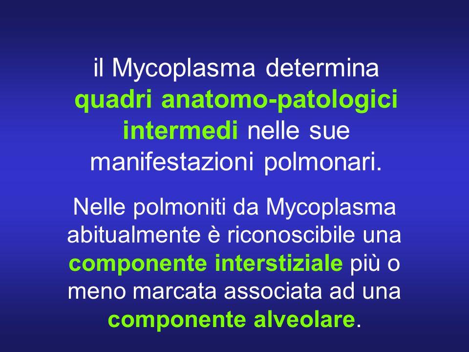 il Mycoplasma determina quadri anatomo-patologici intermedi nelle sue manifestazioni polmonari. Nelle polmoniti da Mycoplasma abitualmente è riconosci