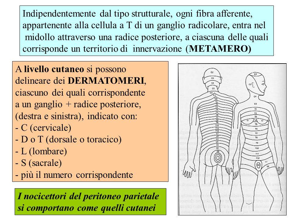 DOLORE ADDOMINALE DA PROIEZIONE RECETTORI E AFFERENTI PRIMARIE: dolore neuropatico, stimolazioni radici posteriori (T6-L1: metameri a sede addominale) STIMOLI ALGOGENI organici: pachimeningiti, osteomieliti, tumori, fratture, discopatie, artropatie, etc.