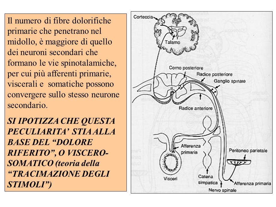 Il numero di fibre dolorifiche primarie che penetrano nel midollo, è maggiore di quello dei neuroni secondari che formano le vie spinotalamiche, per c