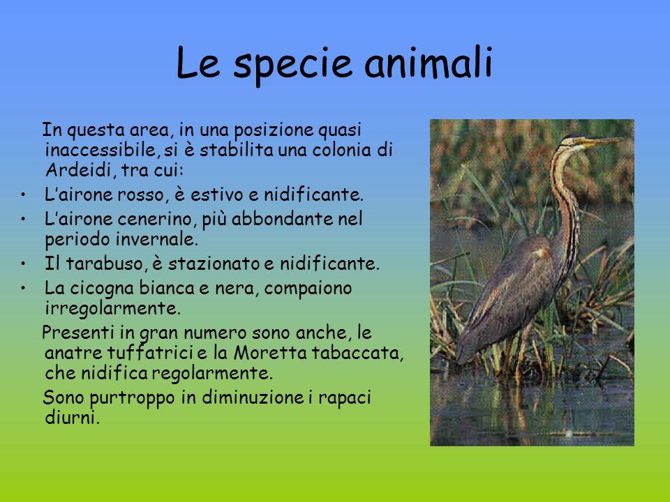 Le specie animali In questa area, in una posizione quasi inaccessibile, si è stabilita una colonia di Ardeidi, tra cui: Lairone rosso, è estivo e nidi