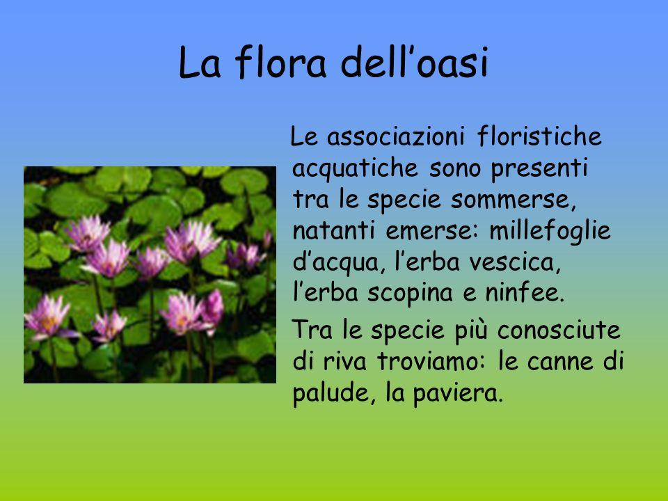 La flora delloasi Le associazioni floristiche acquatiche sono presenti tra le specie sommerse, natanti emerse: millefoglie dacqua, lerba vescica, lerb