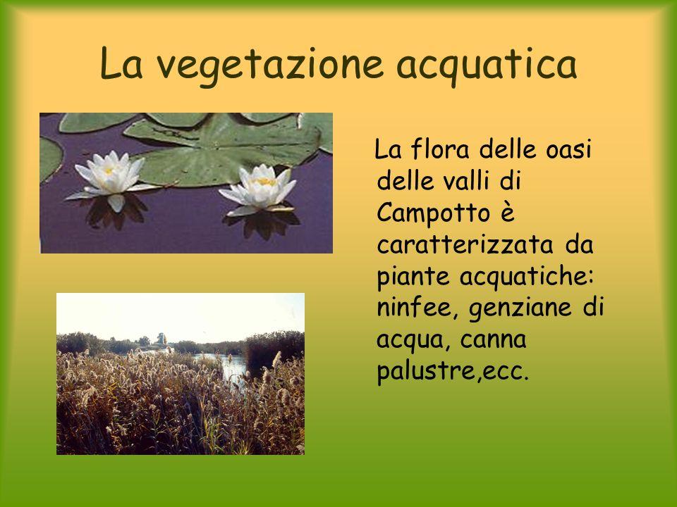 La vegetazione acquatica La flora delle oasi delle valli di Campotto è caratterizzata da piante acquatiche: ninfee, genziane di acqua, canna palustre,