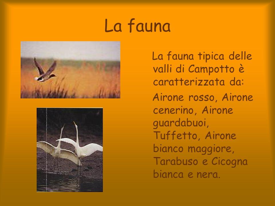 La fauna La fauna tipica delle valli di Campotto è caratterizzata da: Airone rosso, Airone cenerino, Airone guardabuoi, Tuffetto, Airone bianco maggio