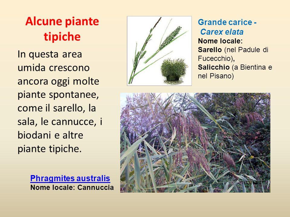 Alcune piante tipiche In questa area umida crescono ancora oggi molte piante spontanee, come il sarello, la sala, le cannucce, i biodani e altre piant