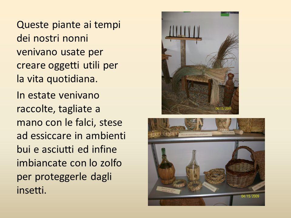 Queste piante ai tempi dei nostri nonni venivano usate per creare oggetti utili per la vita quotidiana. In estate venivano raccolte, tagliate a mano c