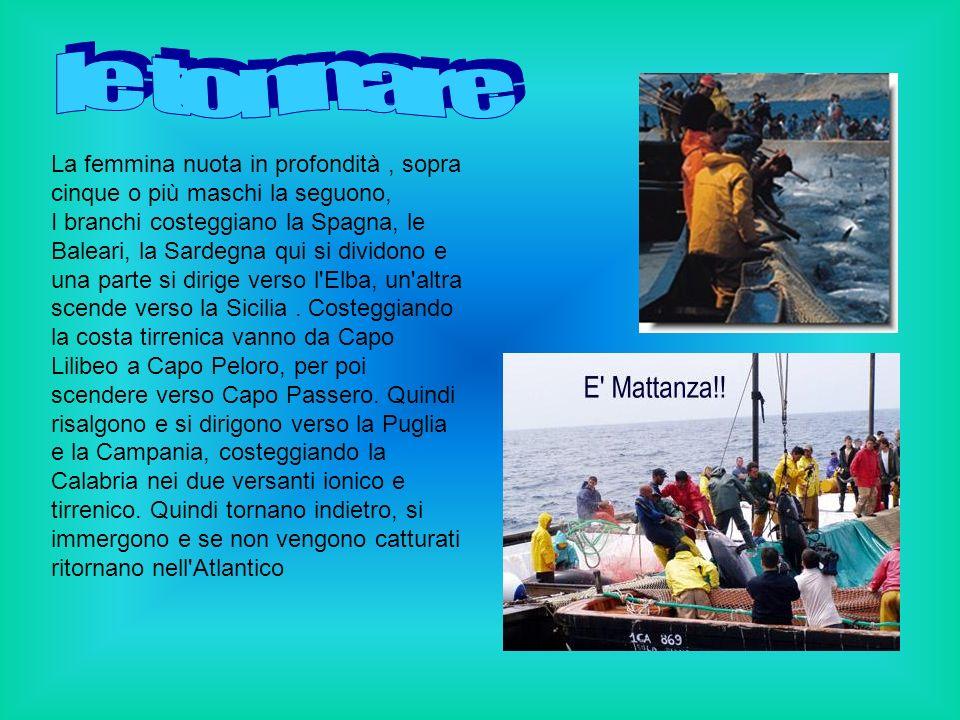La pesca del tonno è di grande importanza e viene praticata soprattutto con le tonnare fisse in Sicilia e Sardegna, particolari reti calate lungo le coste nel periodo riproduttivo, sfruttando i percorsi stagionali dei banchi migratori.