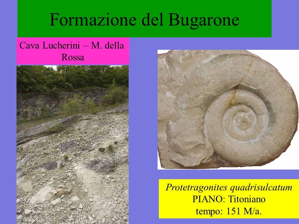 Formazione del Bugarone Protetragonites quadrisulcatum PIANO: Titoniano tempo: 151 M/a. Cava Lucherini – M. della Rossa