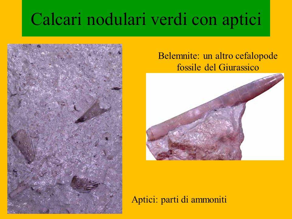 Calcari nodulari verdi con aptici Belemnite: un altro cefalopode fossile del Giurassico Aptici: parti di ammoniti