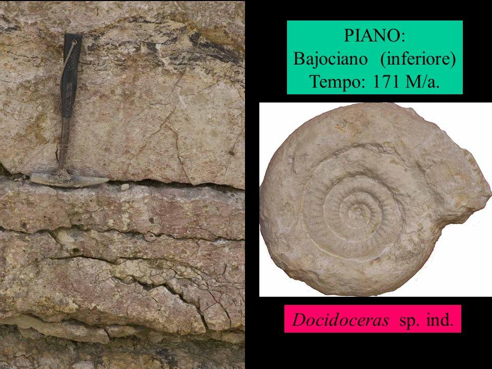 PIANO: Bajociano (inferiore) Tempo: 171 M/a. Docidoceras sp. ind.