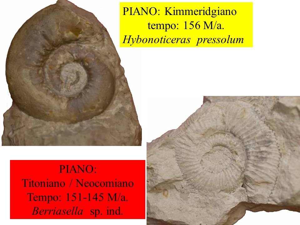 PIANO: Kimmeridgiano tempo: 156 M/a. Hybonoticeras pressolum PIANO: Titoniano / Neocomiano Tempo: 151-145 M/a. Berriasella sp. ind.