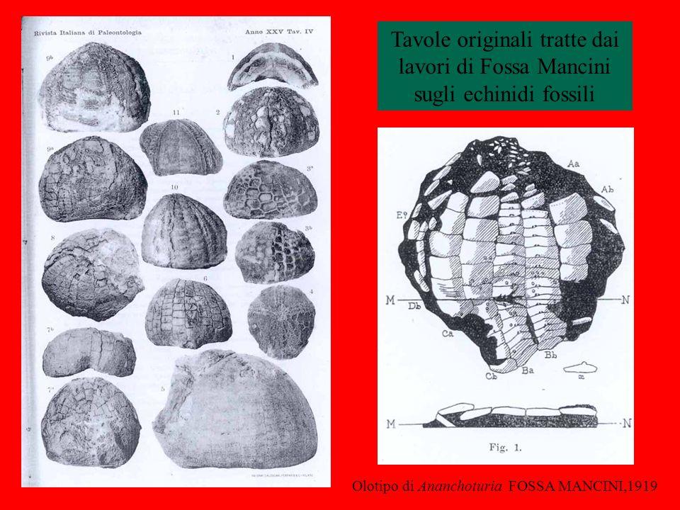 Tavole originali tratte dai lavori di Fossa Mancini sugli echinidi fossili Olotipo di Ananchoturia FOSSA MANCINI,1919