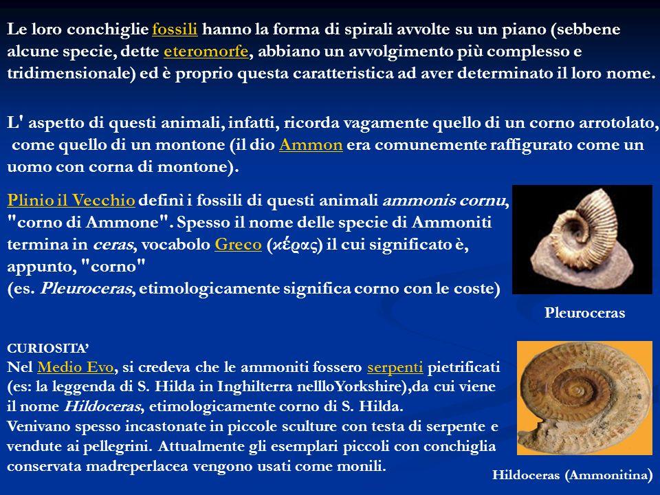 Le loro conchiglie fossili hanno la forma di spirali avvolte su un piano (sebbene alcune specie, dette eteromorfe, abbiano un avvolgimento più comples