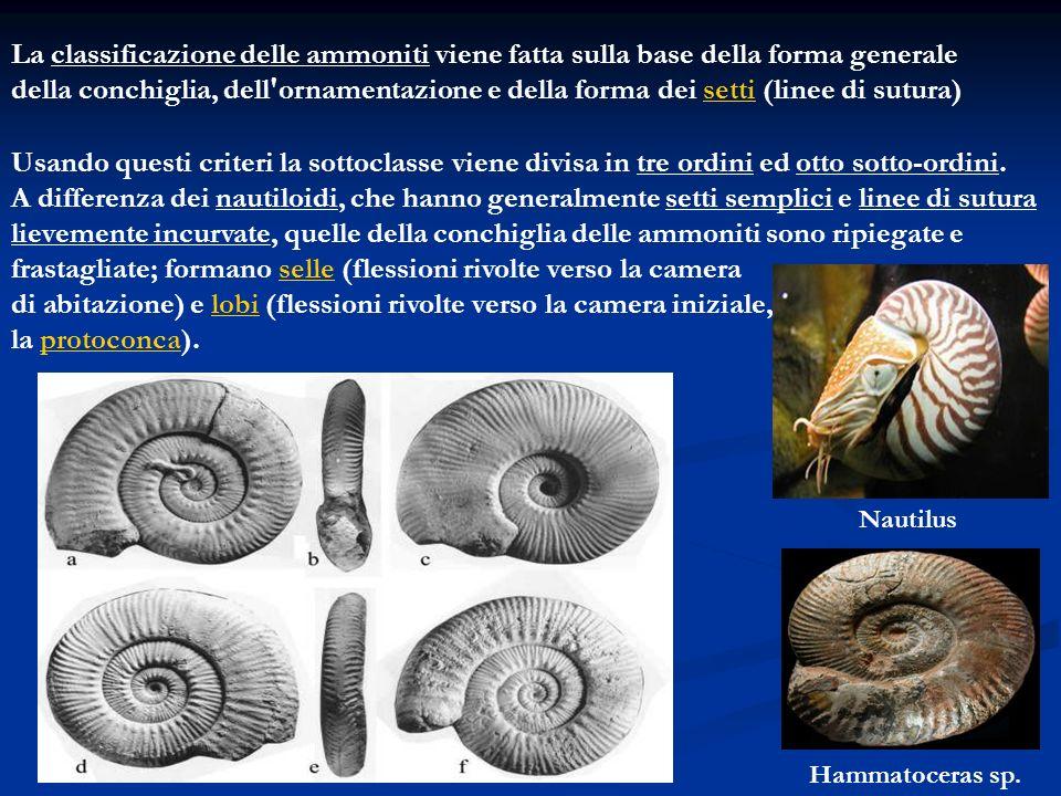 La classificazione delle ammoniti viene fatta sulla base della forma generale della conchiglia, dell'ornamentazione e della forma dei setti (linee di