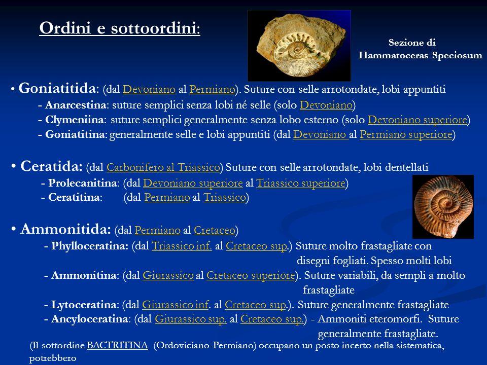Ordini e sottoordini: Goniatitida: (dal Devoniano al Permiano). Suture con selle arrotondate, lobi appuntitiDevonianoPermiano - Anarcestina: suture se