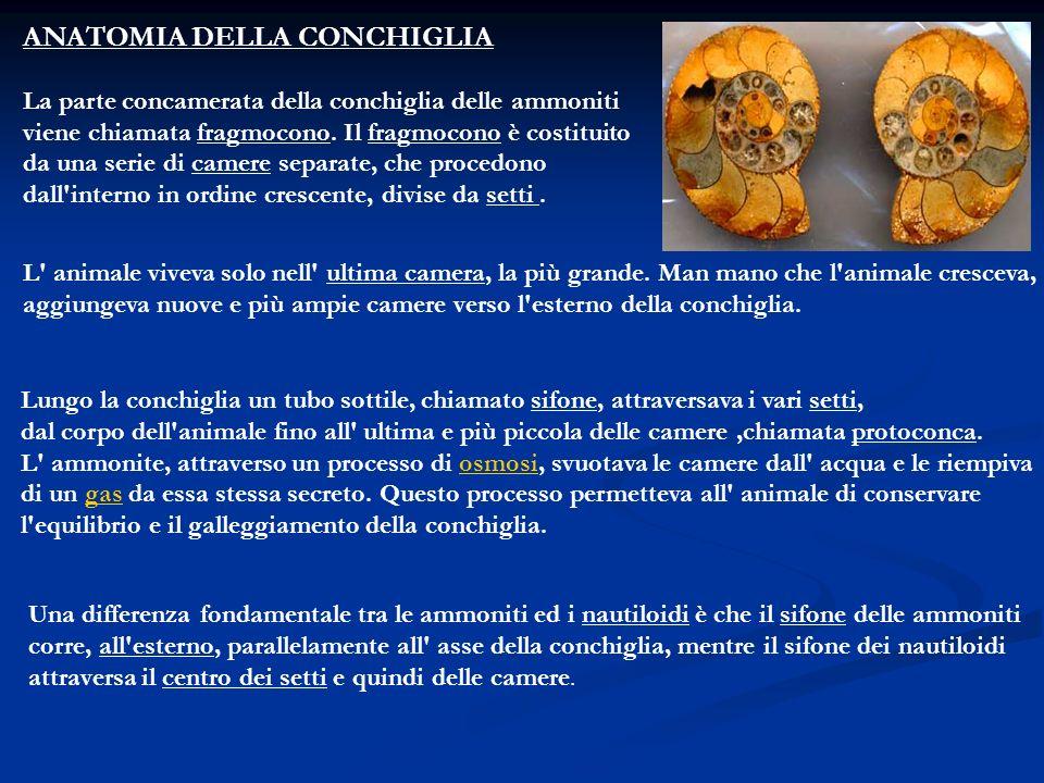 ANATOMIA DELLA CONCHIGLIA La parte concamerata della conchiglia delle ammoniti viene chiamata fragmocono. Il fragmocono è costituito da una serie di c
