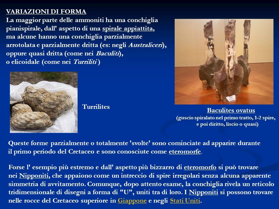 VARIAZIONI DI FORMA La maggior parte delle ammoniti ha una conchiglia pianispirale, dall' aspetto di una spirale appiattita, ma alcune hanno una conch