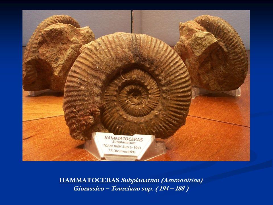HAMMATOCERAS Subplanatum (Ammonitina) Giurassico – Toarciano sup. ( 194 – 188 )