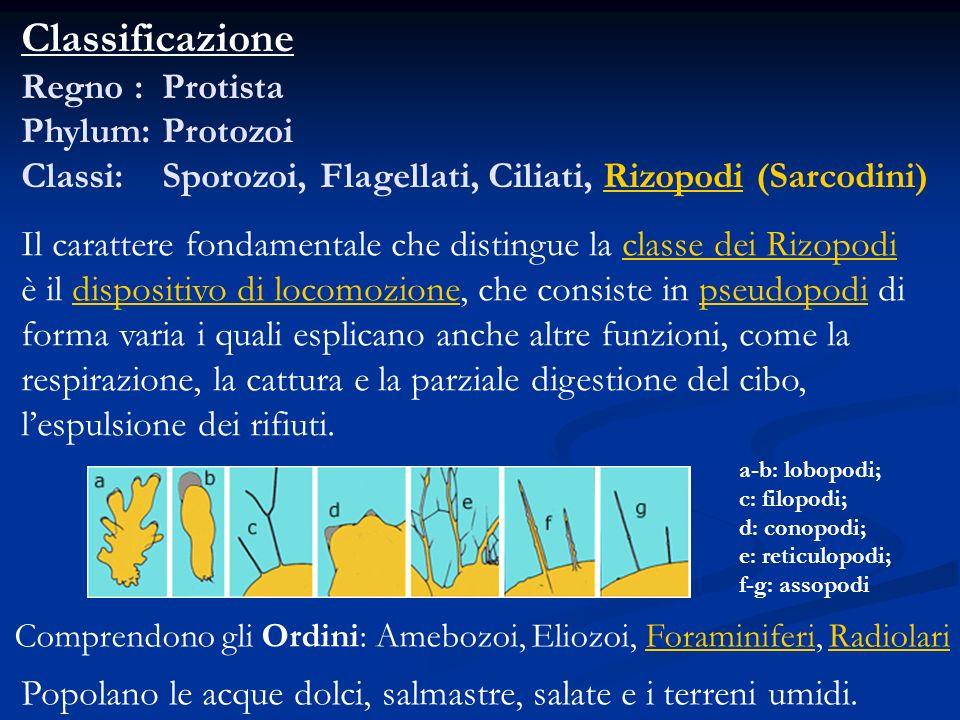 Classificazione Regno : Protista Phylum: Protozoi Classi: Sporozoi, Flagellati, Ciliati, Rizopodi (Sarcodini) Il carattere fondamentale che distingue