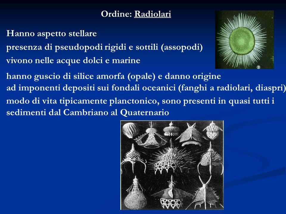 Ordine: Radiolari Hanno aspetto stellare presenza di pseudopodi rigidi e sottili (assopodi) vivono nelle acque dolci e marine hanno guscio di silice a