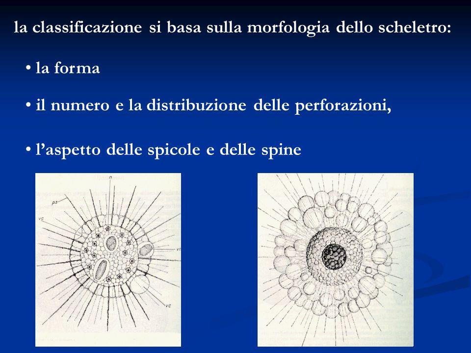 la classificazione si basa sulla morfologia dello scheletro: la forma il numero e la distribuzione delle perforazioni, laspetto delle spicole e delle