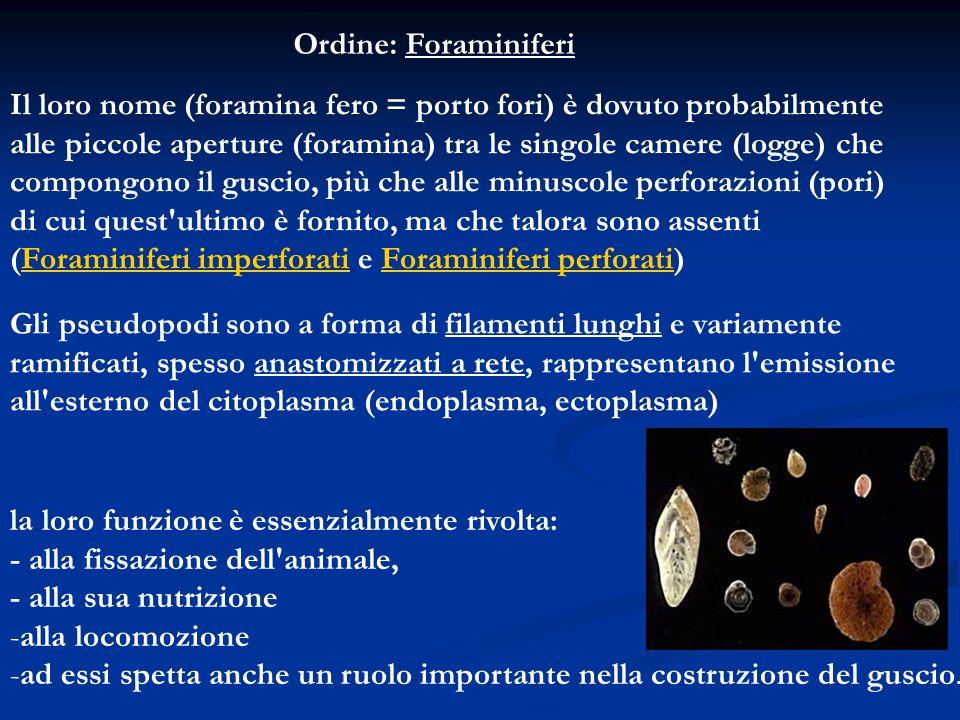 Ordine: Foraminiferi Il loro nome (foramina fero = porto fori) è dovuto probabilmente alle piccole aperture (foramina) tra le singole camere (logge) c