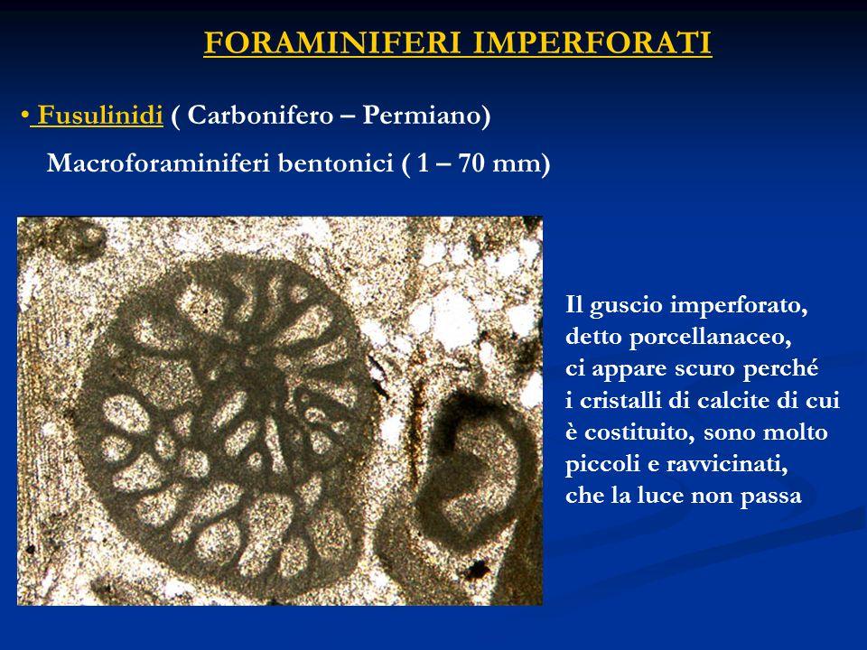 FORAMINIFERI IMPERFORATI Fusulinidi ( Carbonifero – Permiano) Il guscio imperforato, detto porcellanaceo, ci appare scuro perché i cristalli di calcit