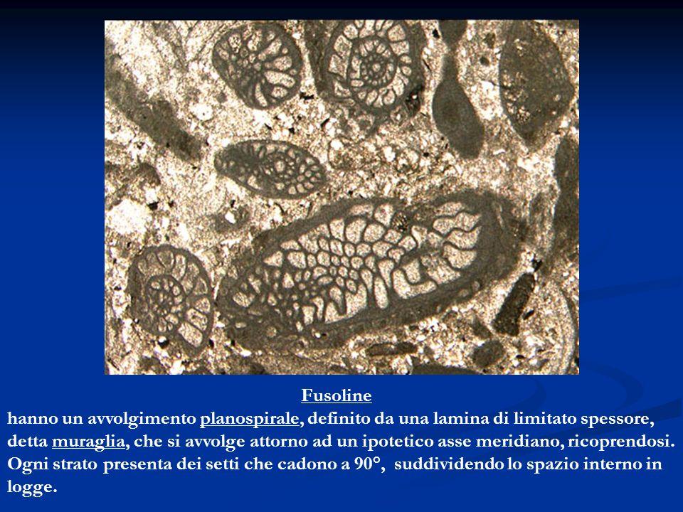Fusoline hanno un avvolgimento planospirale, definito da una lamina di limitato spessore, detta muraglia, che si avvolge attorno ad un ipotetico asse