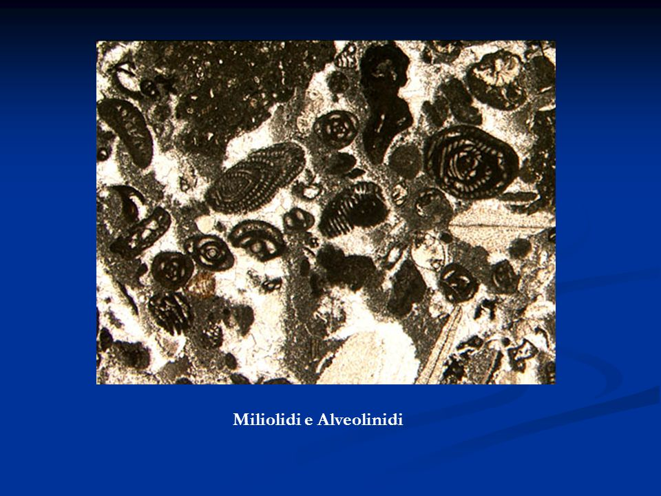Miliolidi e Alveolinidi