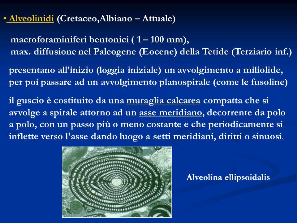 Alveolinidi (Cretaceo,Albiano – Attuale) macroforaminiferi bentonici ( 1 – 100 mm), max. diffusione nel Paleogene (Eocene) della Tetide (Terziario inf