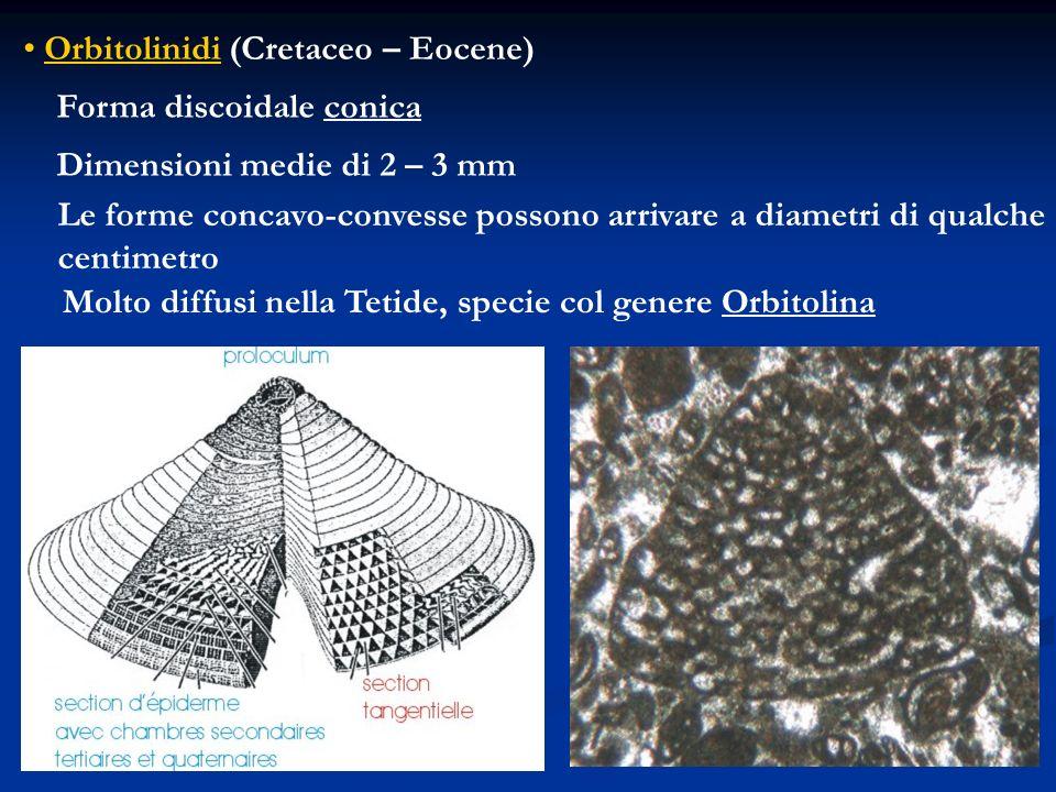 Orbitolinidi (Cretaceo – Eocene) Forma discoidale conica Dimensioni medie di 2 – 3 mm Le forme concavo-convesse possono arrivare a diametri di qualche