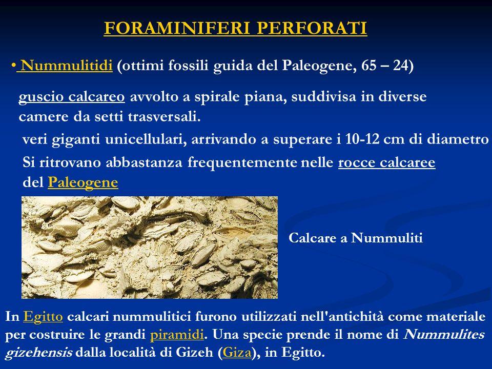 FORAMINIFERI PERFORATI Nummulitidi (ottimi fossili guida del Paleogene, 65 – 24) guscio calcareo avvolto a spirale piana, suddivisa in diverse camere