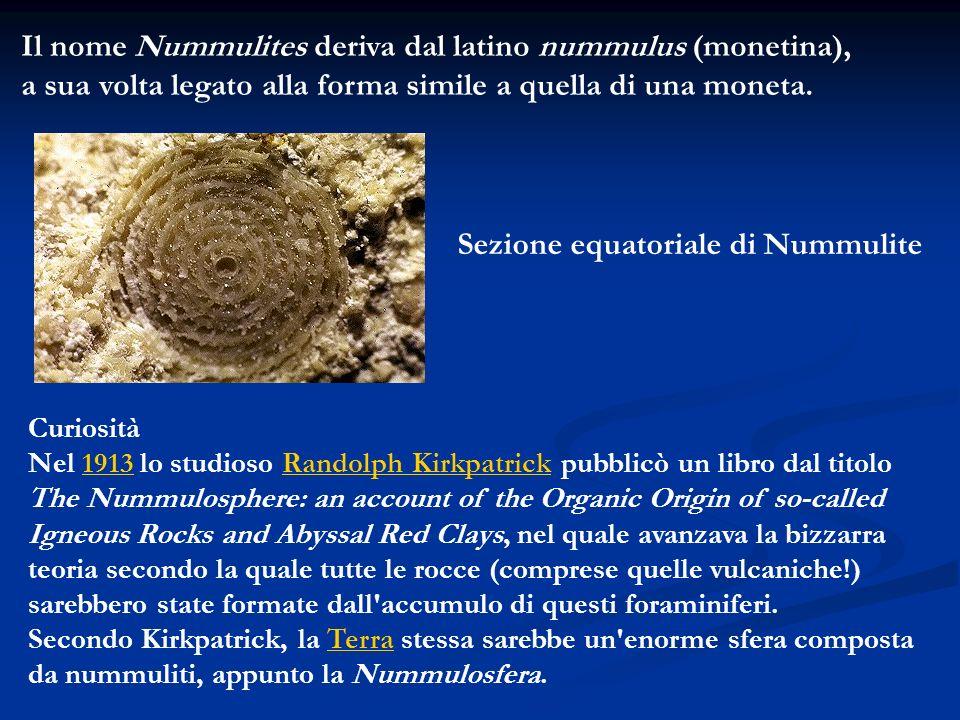 Il nome Nummulites deriva dal latino nummulus (monetina), a sua volta legato alla forma simile a quella di una moneta. Sezione equatoriale di Nummulit