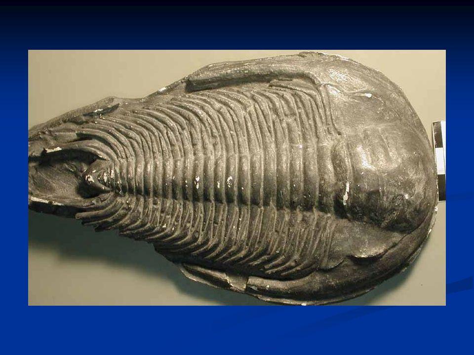 Ordine: Radiolari Hanno aspetto stellare presenza di pseudopodi rigidi e sottili (assopodi) vivono nelle acque dolci e marine hanno guscio di silice amorfa (opale) e danno origine ad imponenti depositi sui fondali oceanici (fanghi a radiolari, diaspri) modo di vita tipicamente planctonico, sono presenti in quasi tutti i sedimenti dal Cambriano al Quaternario
