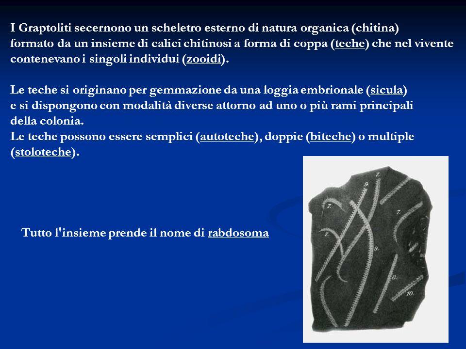 I Graptoliti secernono un scheletro esterno di natura organica (chitina) formato da un insieme di calici chitinosi a forma di coppa (teche) che nel vi