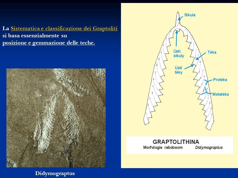 La Sistematica e classificazione dei GraptolitiSistematica e classificazione dei Graptoliti si basa essenzialmente su posizione e gemmazione delle tec