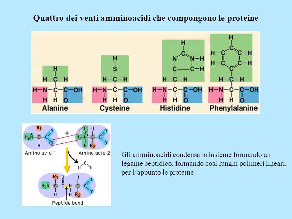 Quattro dei venti amminoacidi che compongono le proteine Gli amminoacidi condensano insieme formando un legame peptidico, formando così lunghi polimer