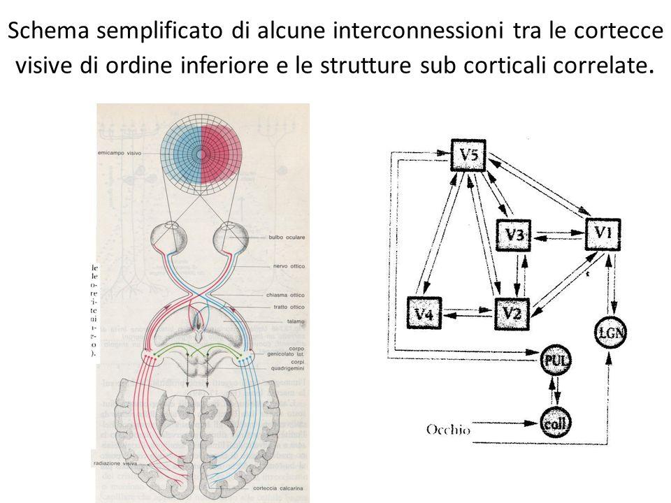 Schema semplificato di alcune interconnessioni tra le cortecce visive di ordine inferiore e le strutture sub corticali correlate.