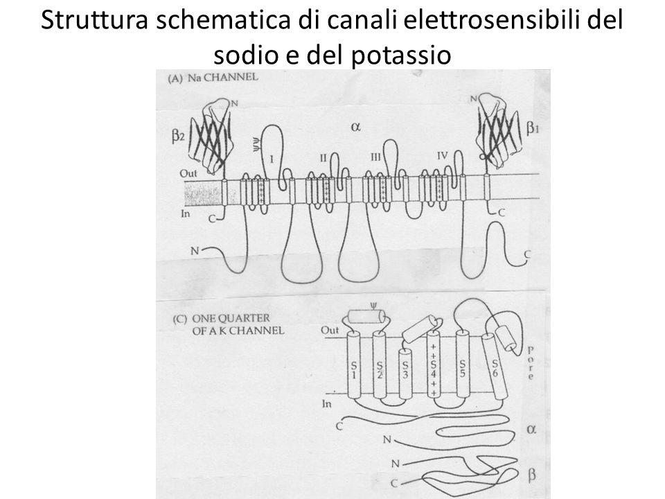 Struttura schematica di canali elettrosensibili del sodio e del potassio