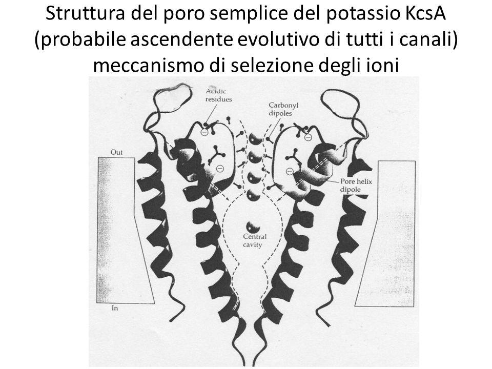 Struttura del poro semplice del potassio KcsA (probabile ascendente evolutivo di tutti i canali) meccanismo di selezione degli ioni