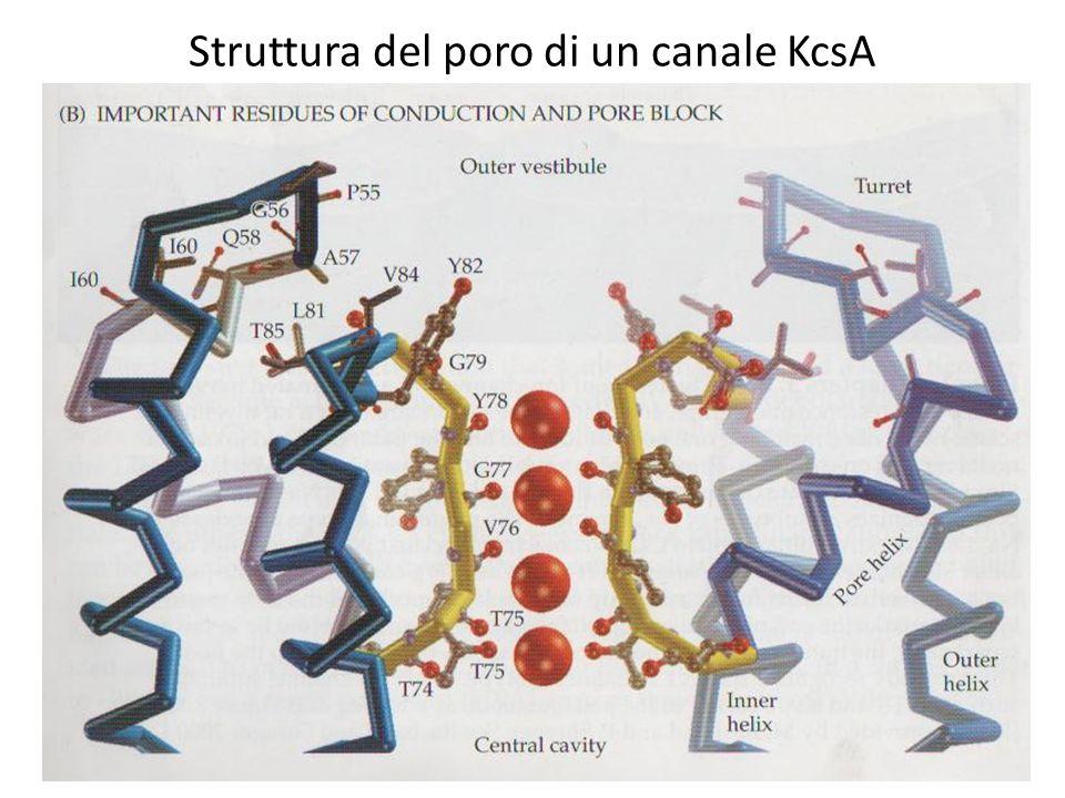 Struttura del poro di un canale KcsA