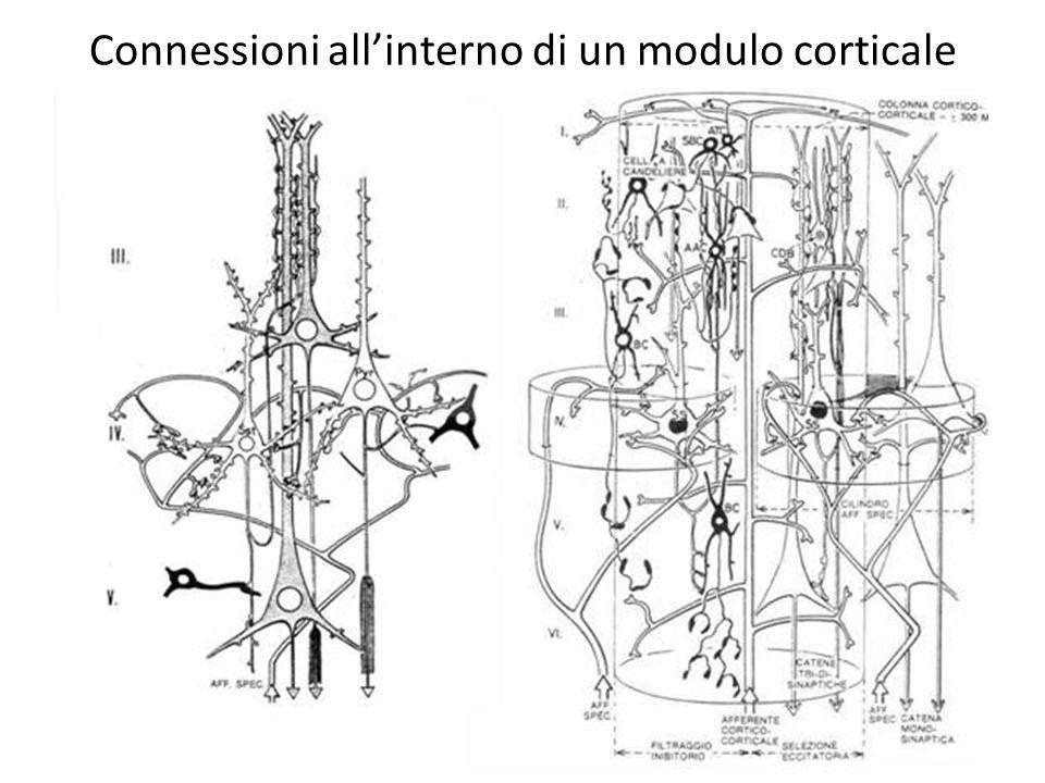 Connessioni allinterno di un modulo corticale