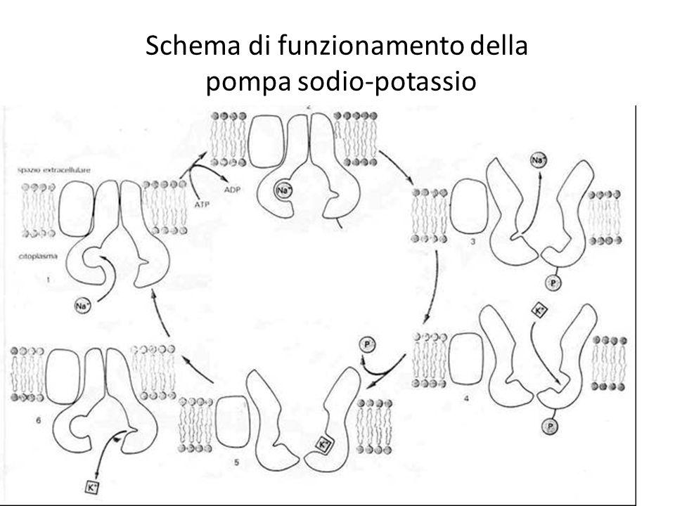 Schema di funzionamento della pompa sodio-potassio
