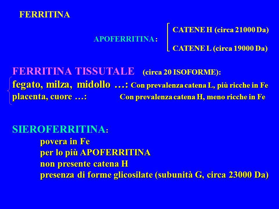 FERRITINA APOFERRITINA : FERRITINA TISSUTALE (circa 20 ISOFORME): fegato, milza, midollo …: Con prevalenza catena L, più ricche in Fe placenta, cuore …: Con prevalenza catena H, meno ricche in Fe SIEROFERRITINA : povera in Fe per lo più APOFERRITINA non presente catena H presenza di forme glicosilate (subunità G, circa 23000 Da) CATENE H (circa 21000 Da) CATENE L (circa 19000 Da)