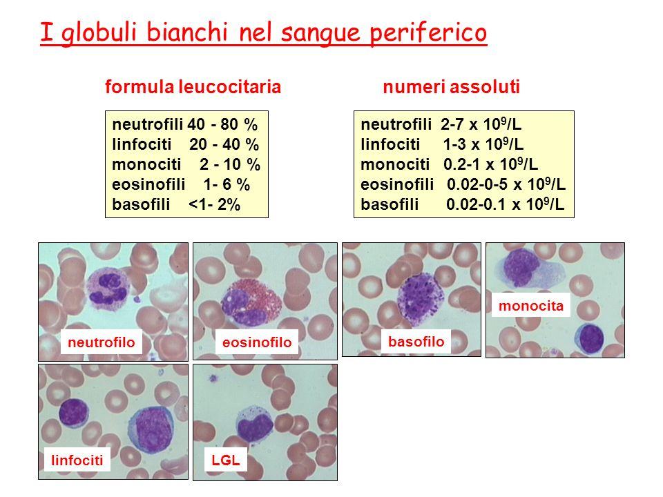 neutrofiloeosinofilo basofilo monocita LGLlinfociti I globuli bianchi nel sangue periferico formula leucocitaria neutrofili 40 - 80 % linfociti 20 - 4