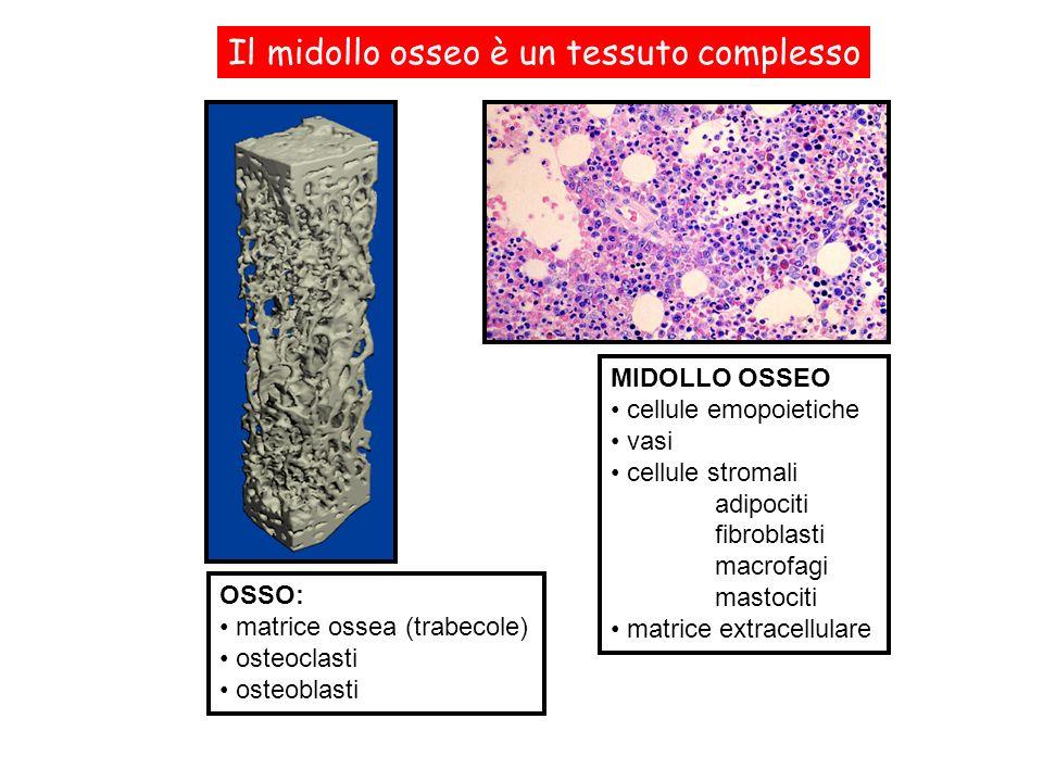 MIDOLLO OSSEO cellule emopoietiche vasi cellule stromali adipociti fibroblasti macrofagi mastociti matrice extracellulare Il midollo osseo è un tessut